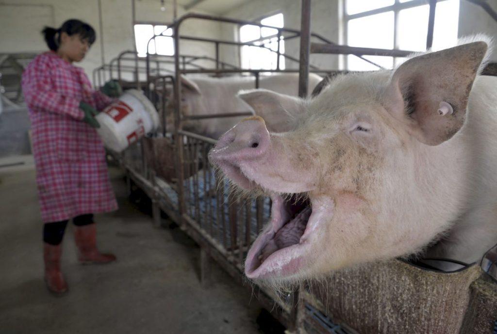 ปศุสัตว์ในจีนยังใช้ยาปฏิชีวนะ Colistin ทำให้เชื้อแบคทีเรียดื้อยา (ibtimes.co.uk)