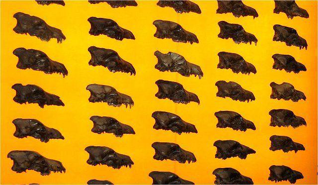 กะโหลก Canis Dirus จำนวนมากค้นพบในบ่อน้ำมันหมืด (Photo: