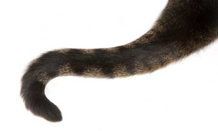 tabby-cat-tail