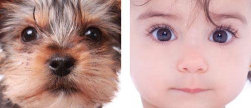 ตาโต หน้าผากกว้าง จมูกเล็ก โครงสร้างของลูกสุนัขมีความคล้ายคลึงกับทารกมนุษย์ (Photo:Nature.com)