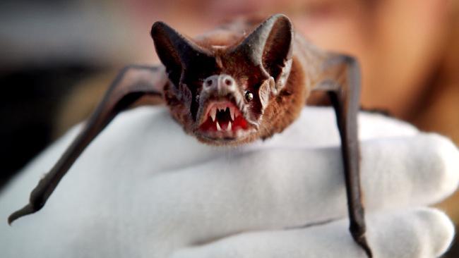 666034-white-striped-bat