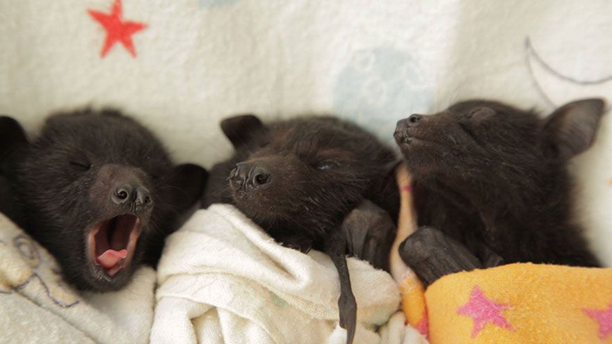 adorable-orphaned-baby-bats-australian-bat-clinic-15